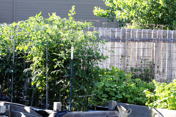 Tomato plants in a beautiful garden