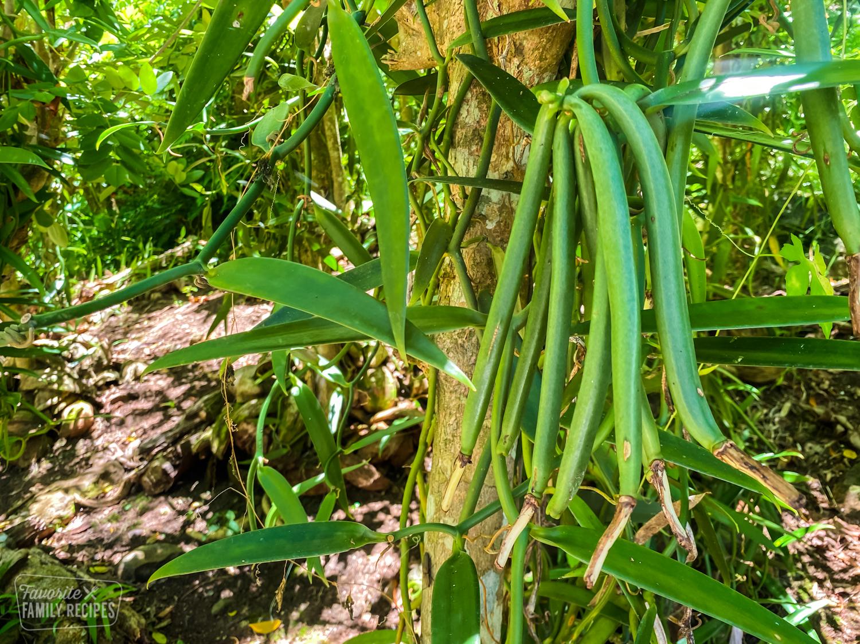 Vanilla beans on the vine in Tahiti