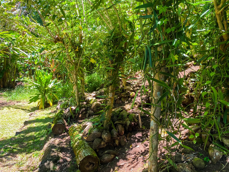 Vanilla plants on a vanilla farm in Tahiti